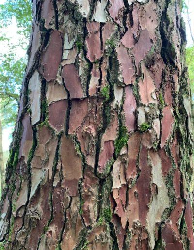 texture trons de pin brocéliande